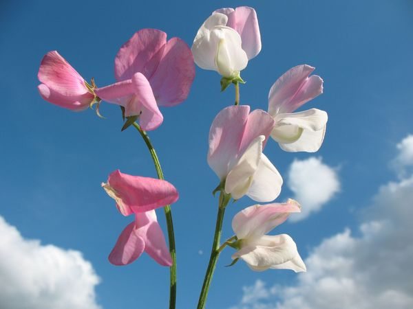winter garden tips how to grow sweet peas the humble. Black Bedroom Furniture Sets. Home Design Ideas