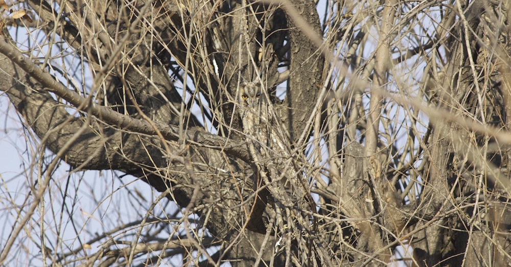 2011-11-18-long-eared-owl-camouflage