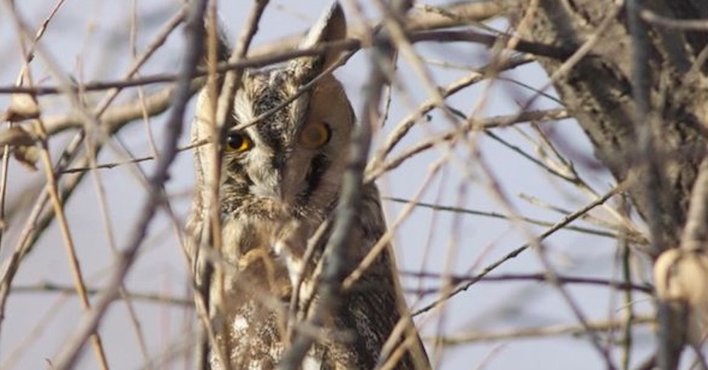 2011-11-18-long-eared-owl