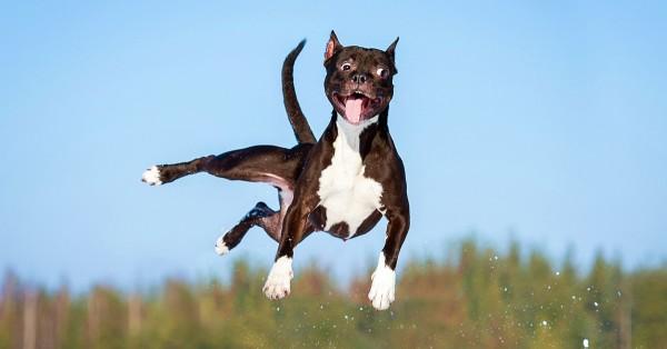 Dog-dog jumping-shutterstock_267575651