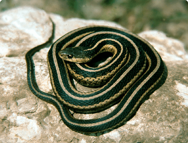 Eastern garter snake; one of the most common non-venomous snakes. Photo Credit: Jeff LeClere, via Fairfax Co. Public Schools