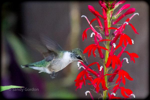Hummer_at_cardinal_flower_5
