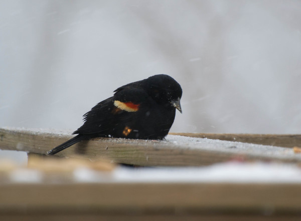 Red-winged_Blackbird_2