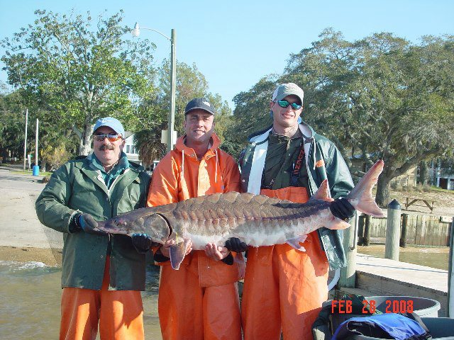 From Cal: Gulf Sturgeon in Mobile Bay, Alabama