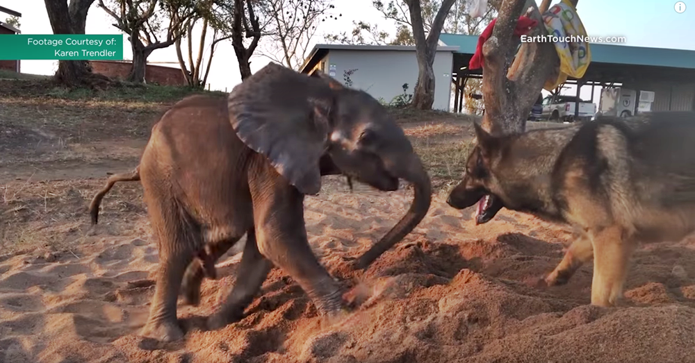 Rescued baby ellie beats the odds with the help of his canine companion   YouTube1