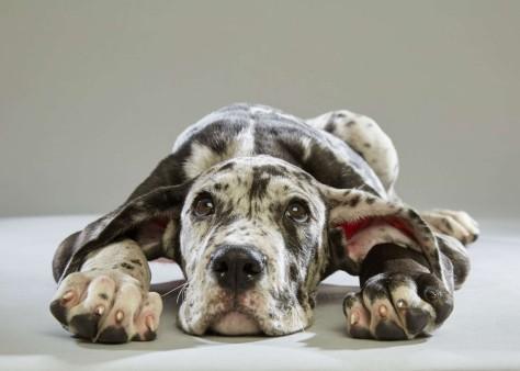 Bijoux. Great Dane. Team Fluff. 12 Weeks Old. Florida Little Dog Rescue.