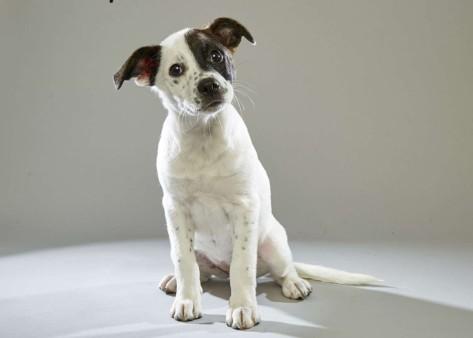 Miss Sassy. Boston Terrier. Team Fluff. 12 Weeks Old. Heinz57 Pet Rescue.