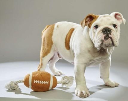 Otis. Bulldog. Team Ruff. 17 Weeks Old. Williamson County Animal Center.