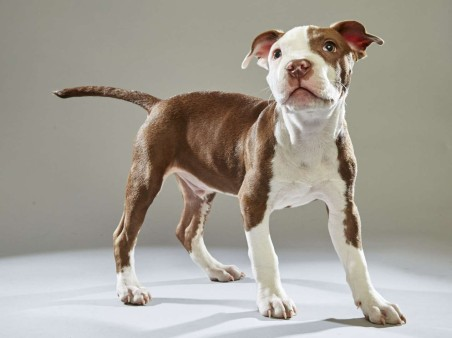 Raphael. Pit Bull. Team Ruff. 13 Weeks Old. Williamson County Animal Center.