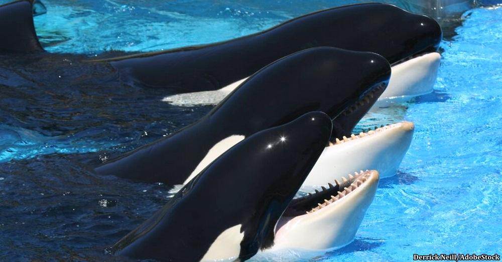 SeaWorld-Orcas1