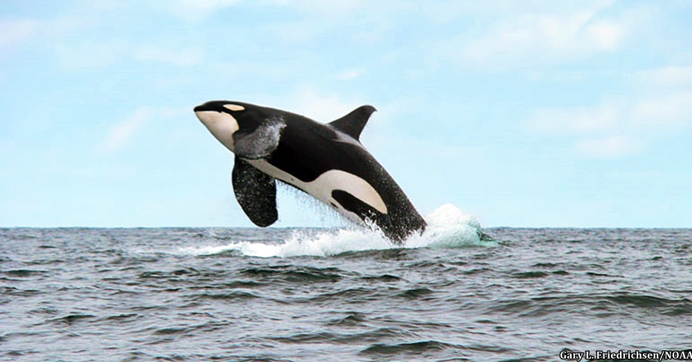 SeaWorld-Orcas2