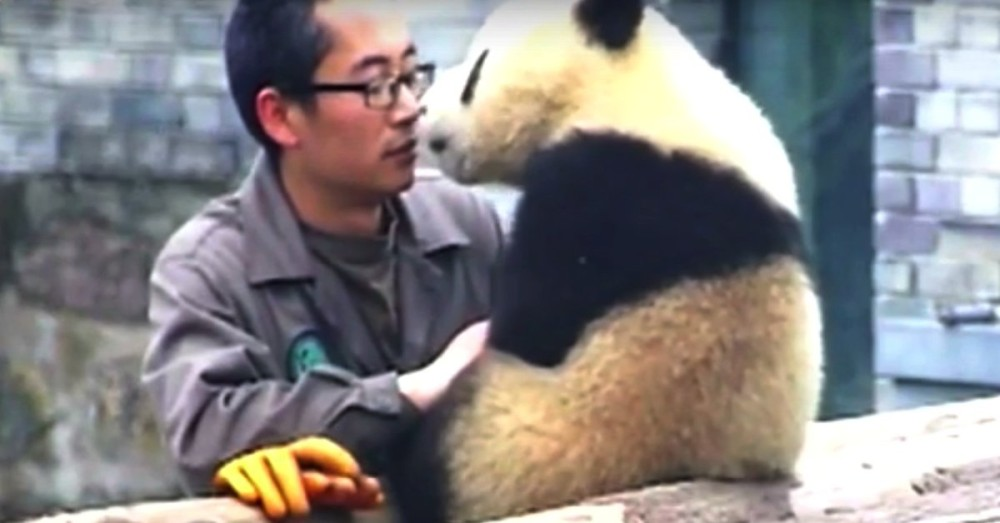 how to take care of a panda