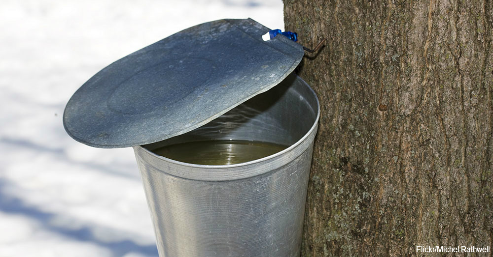 Maple Syrup Being Collected