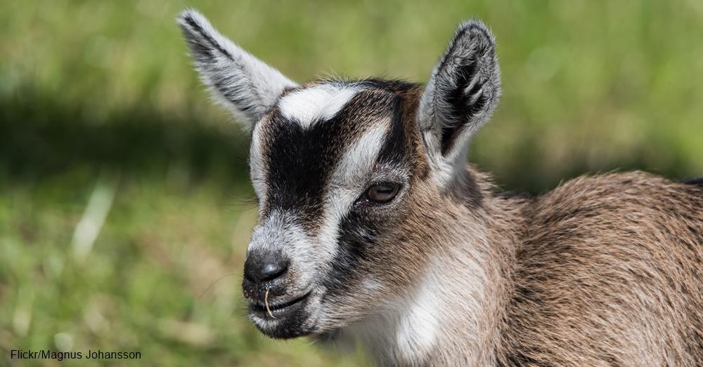 SBBC_goat_edit