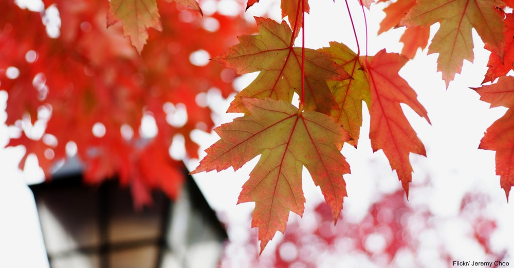 Maple Leaves on Tree
