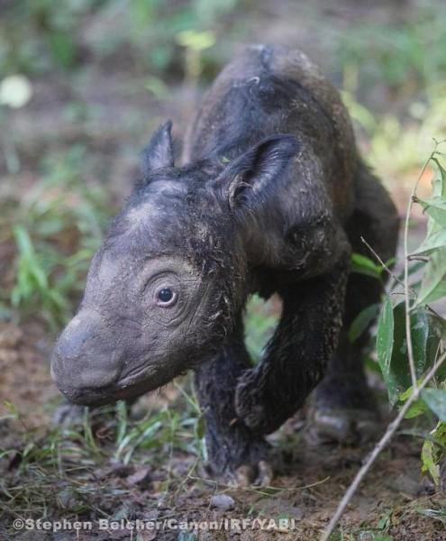 Baby-Sumatran-rhino-495x600