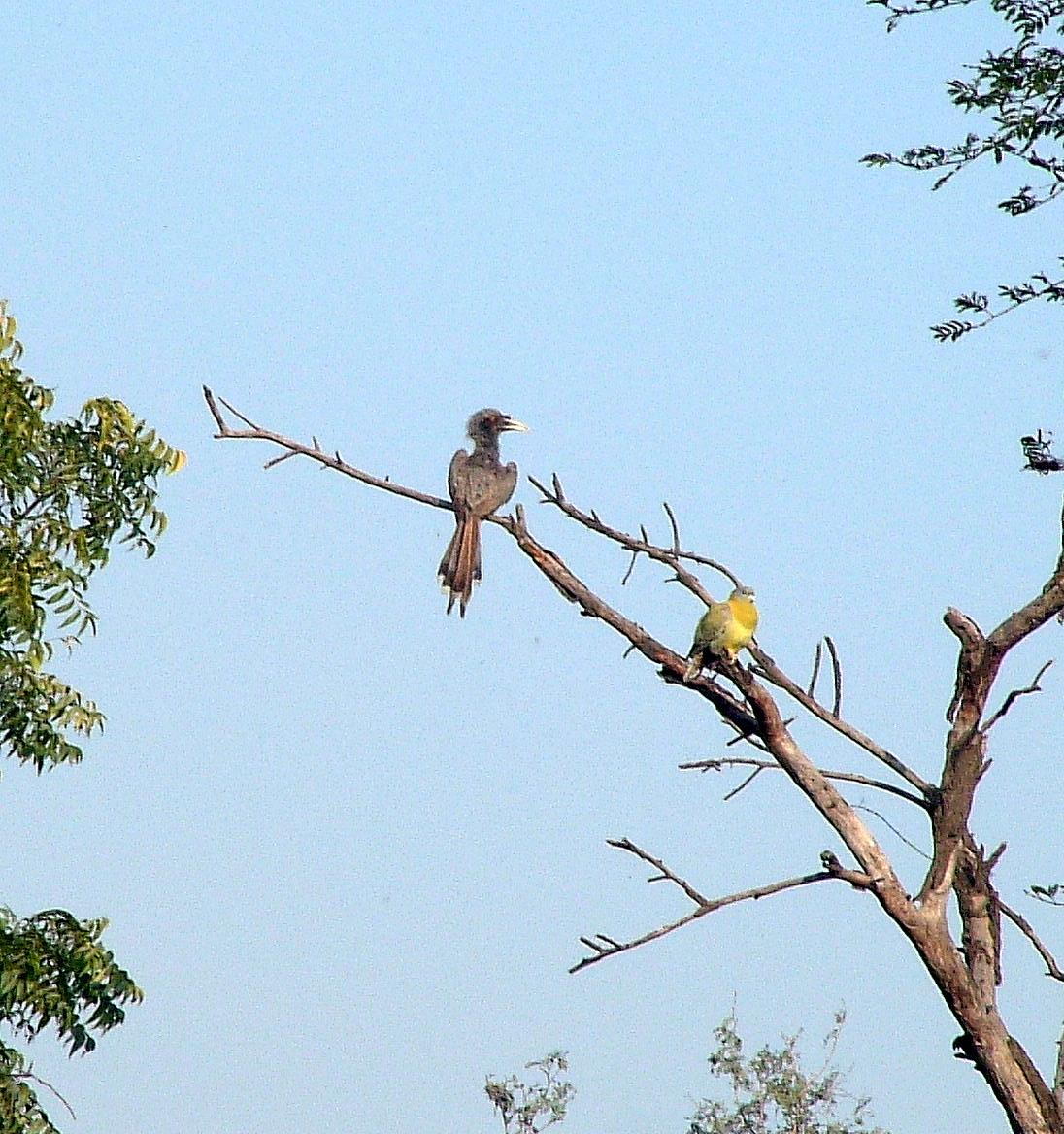 Van Harris - Indian Hornbills & Yellow-footed Pigeon; Bharatpur, India, 1-26-2006