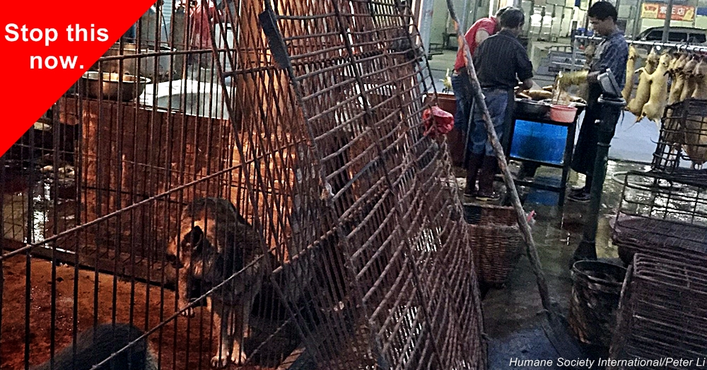 HSI's China Policy Specialist Peter Li travelled to Yulin in March and April 2016, bringing back fresh video and photographic evidence of mass dog and cat slaughter continuing to take place in the city even outside of the festival period, something the Yulin authorities have repeatedly denied.      Dog meat trade, pet protection, companion animals