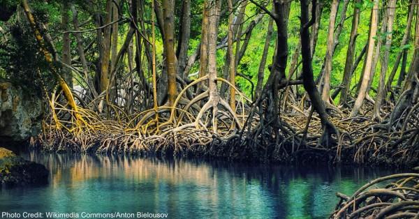 mangrove1