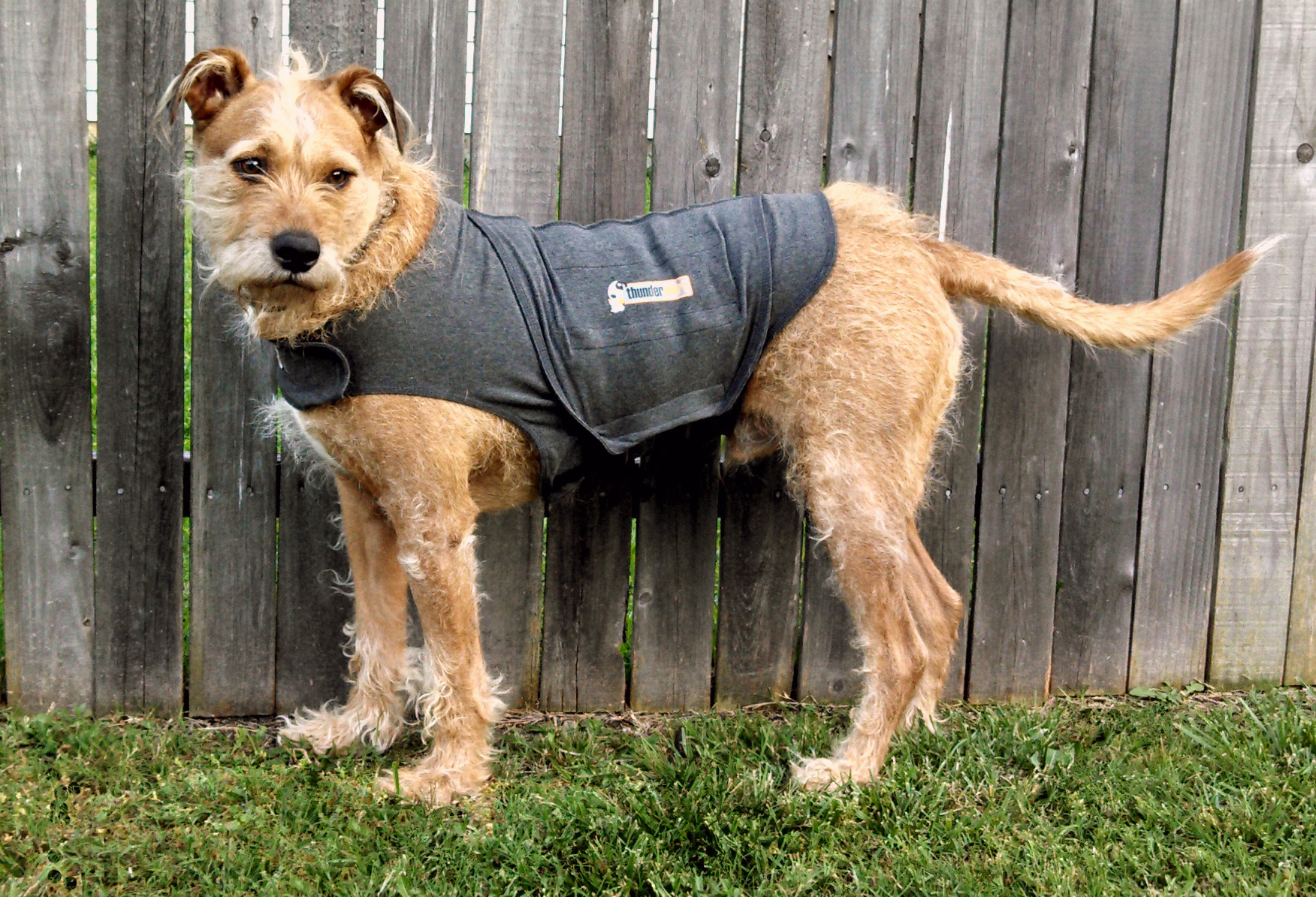 Dog wearing Thundershirt.