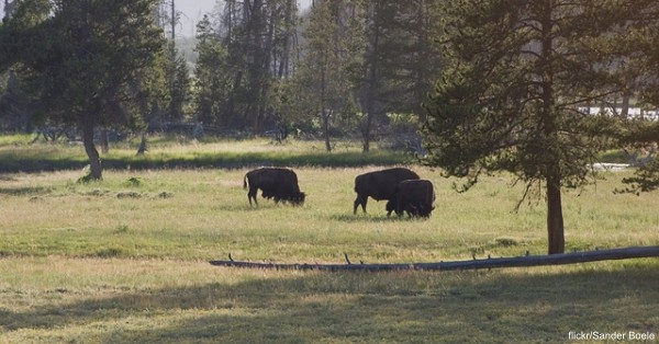 According to the National Park Service, Yellowstone bison comprise the nation's largest bison population on public land and are among the few bison herds that have not been hybridized through interbreeding with cattle.
