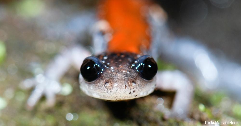 N American Salamander Saving the Salamanders...