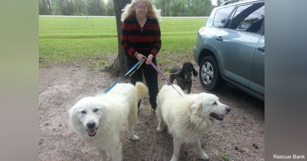 Lone Star Pyrs and Paws adopted Tessa and Dale to  loving woman who already had two poodles previously rescued from a puppy mill.