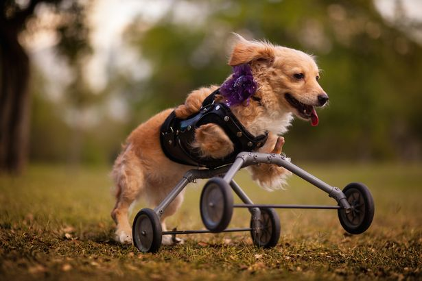 Rescue-dog-on-wheels (1)