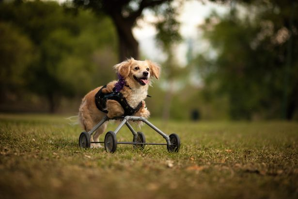 Rescue-dog-on-wheels (2)