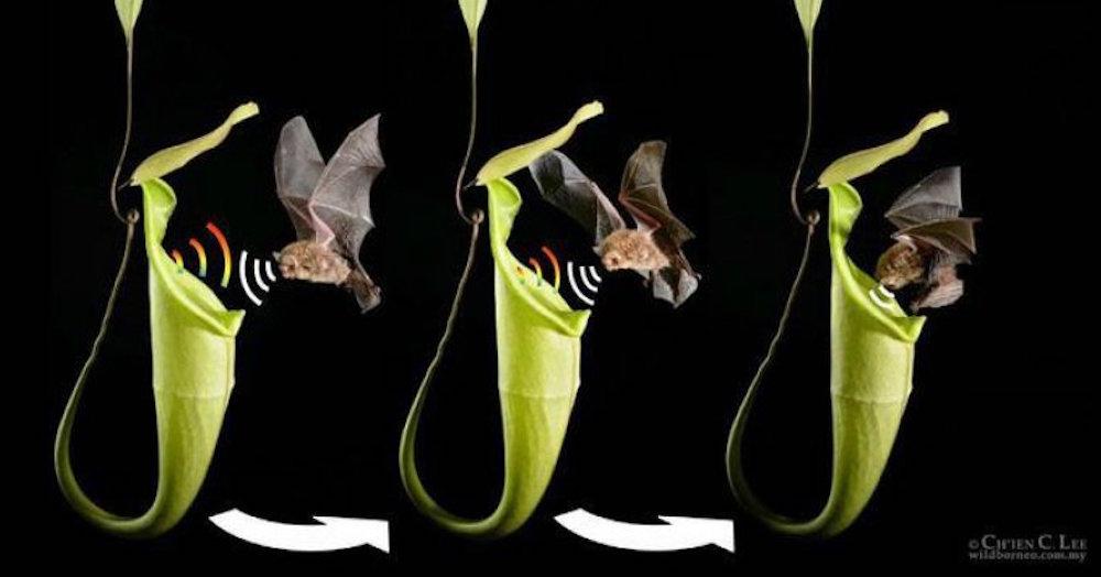 pitcher plant with bat diagram