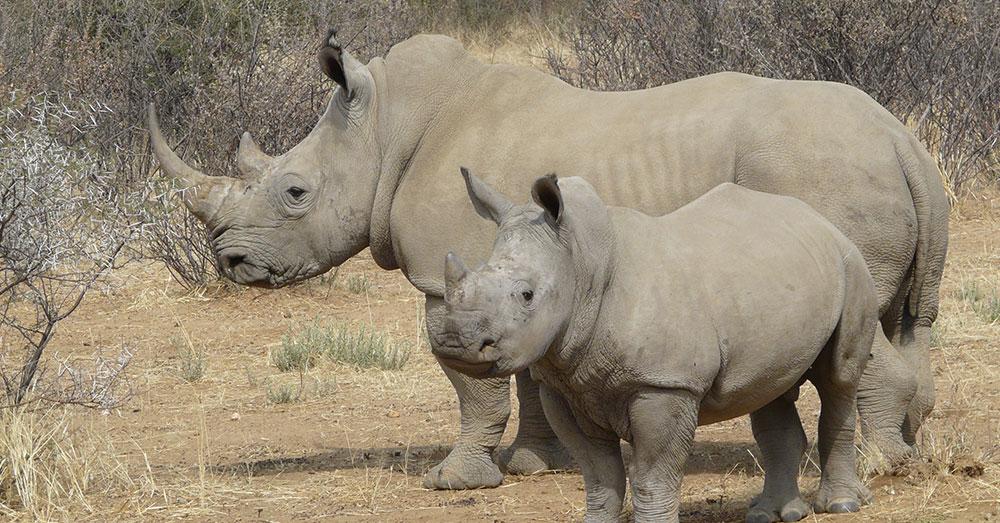 Last Male Northern White Rhino Dies In Kenya picture