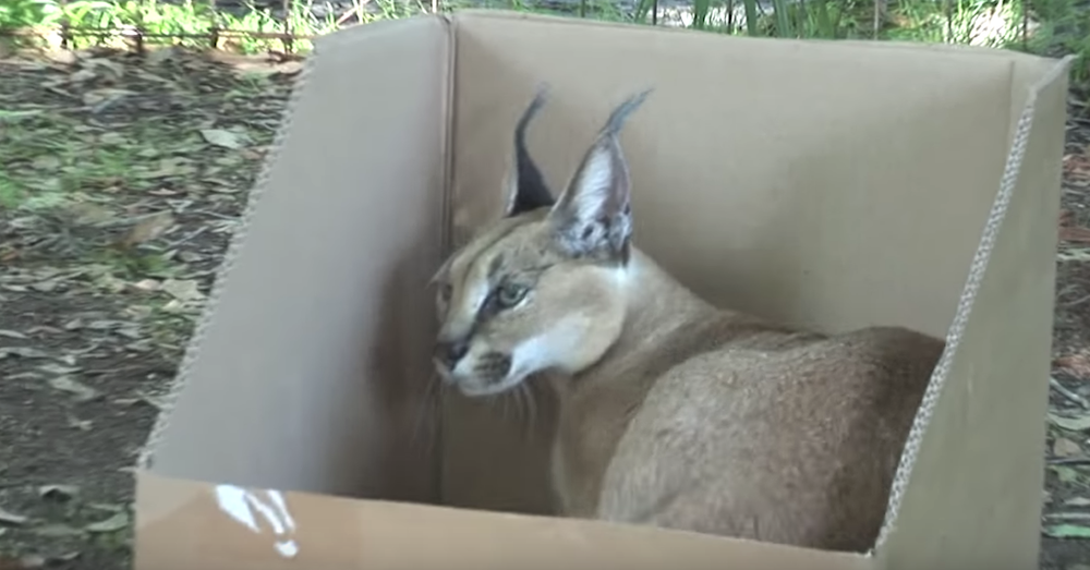 YouTube/Big Cat Rescue