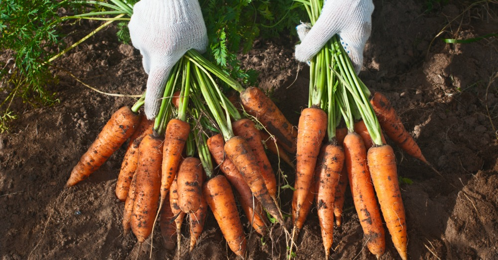 fun-facts-about-carrots-2