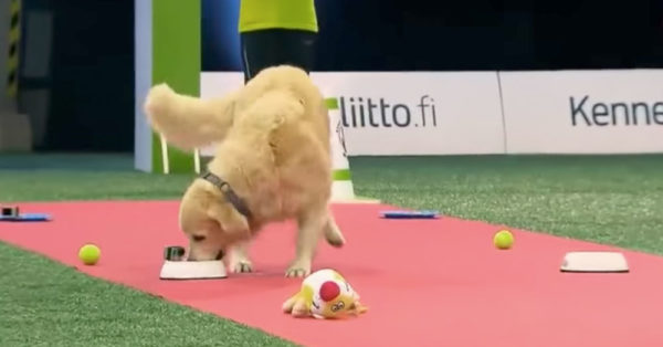 Source: YouTube/Golden Retriever Lovers