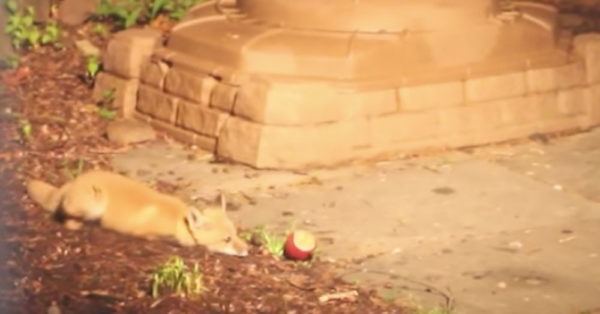 Source: YouTube/Two Baby Foxes Playing With A Ball Is Paws