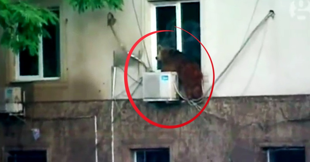 An escaped bear seeks safety on the window ledge of a Tbilisi apartment.