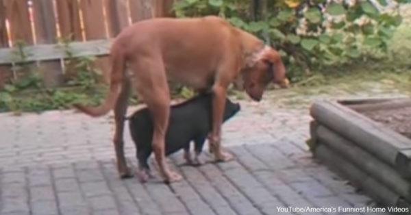 dog-pig1