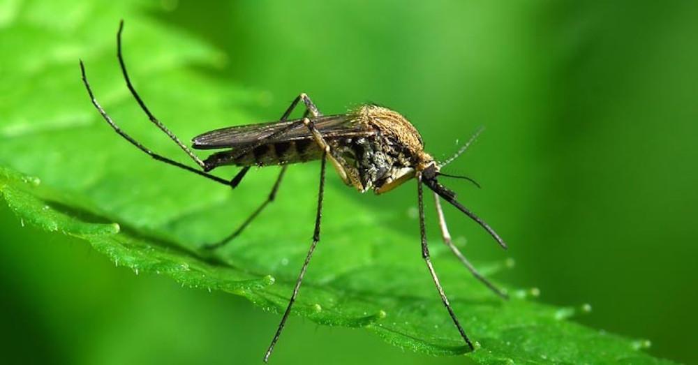 mosquito-787x399