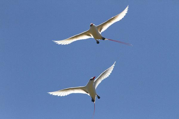 IMG_7973_Red-tailed_trp_ic_bird