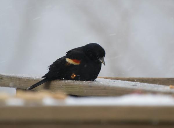 Red-winged_Blackbird_2