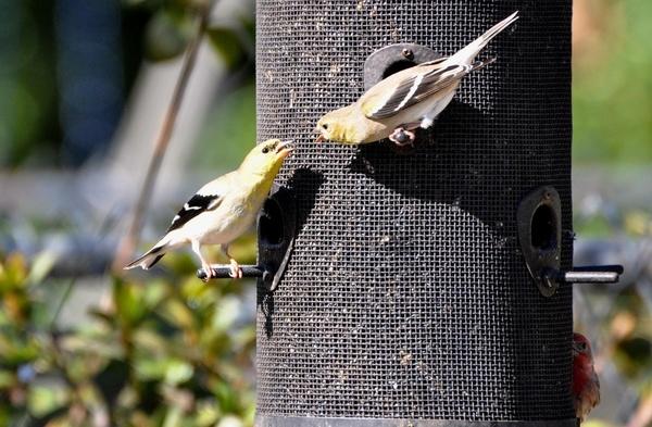 south-carolina-goldfinch