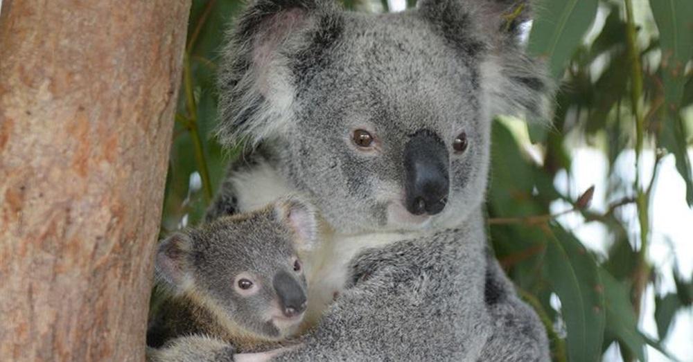 Photo Credit: Australia Zoo Wildlife Hospital via Facebook