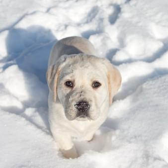 Winter Animal Labrador Puppy Dog In Snow