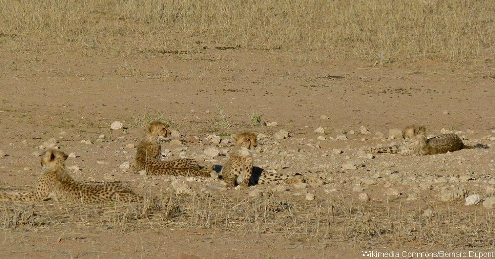cheetahimage2