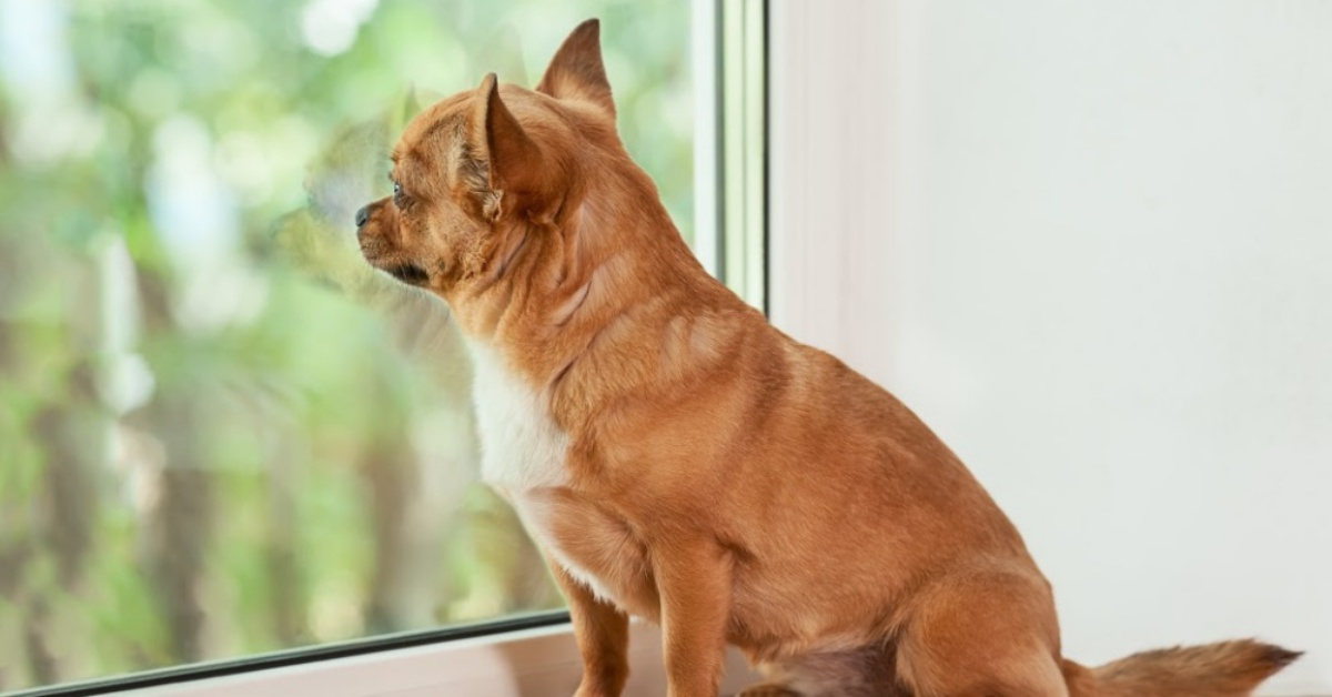 Red chihuahua dog sitting on window sill and looks into the distance.
