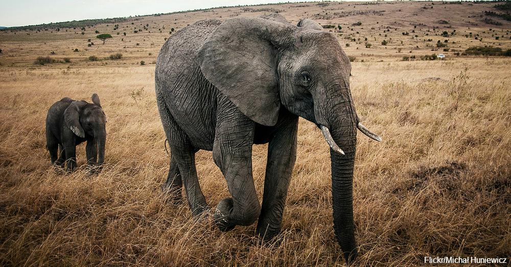ivory2