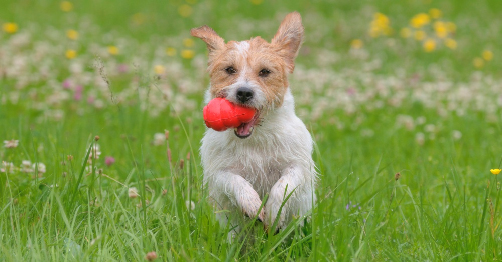 jack russell_1000x523
