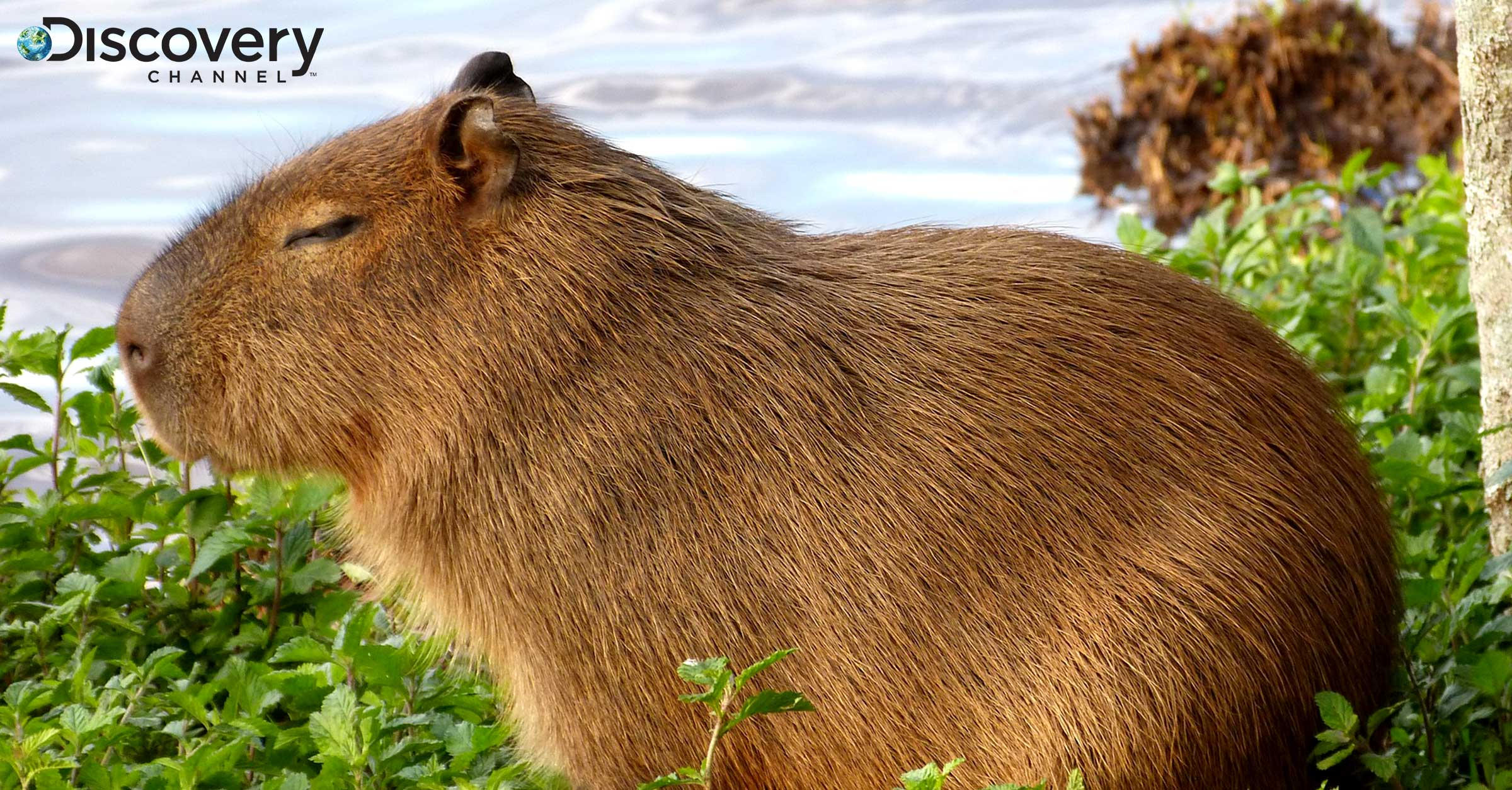 Discovery Attempts to Replicate Success of Shark Week with Capybara Week