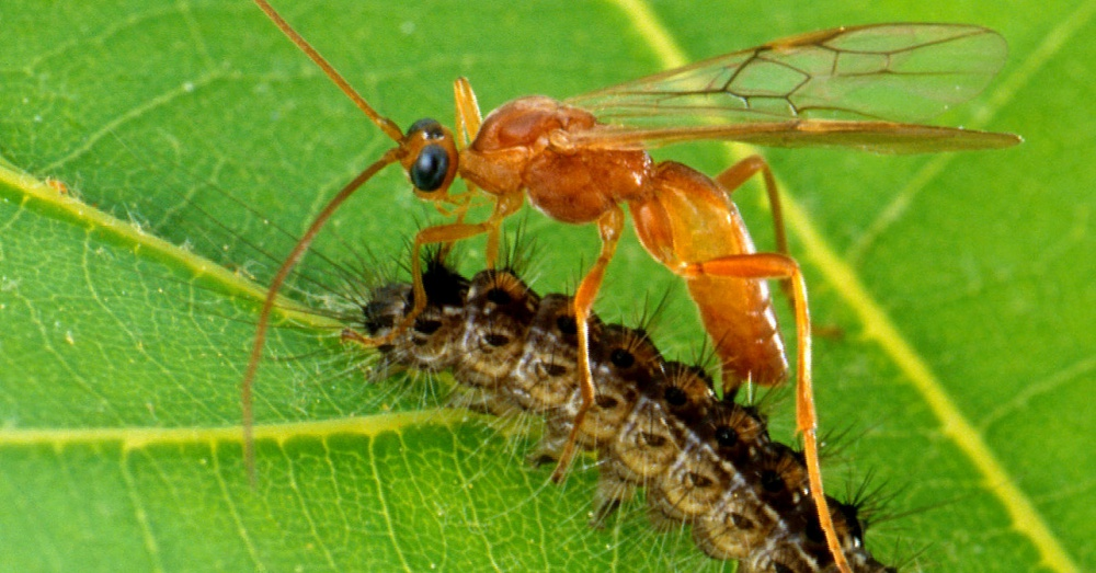 This wasp is part of the Aleiodes genus / Via The USDA