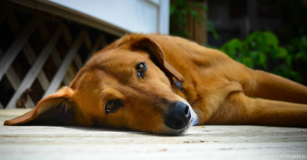allergydog